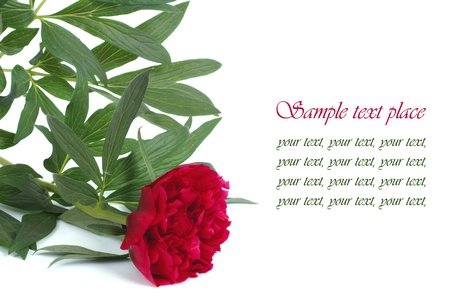 Red peony flower with text on white background photo