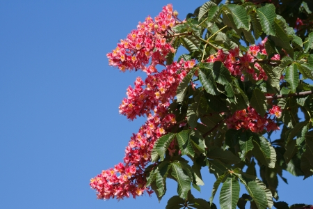 Flowers red chestnut against the blue sky  photo