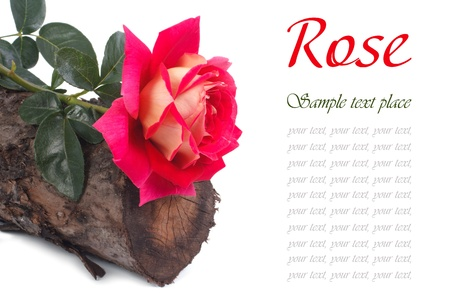 Beautiful rose on a tree stump isolated on white background photo