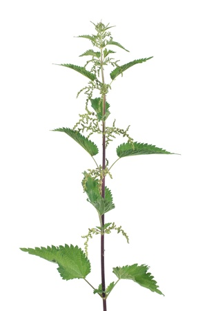 Stinging nettle with flowers isolated on white background photo