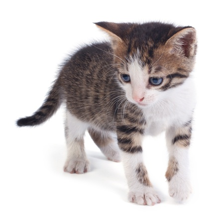 playful little tabby kitten isolated on white background Stock Photo - 20793368