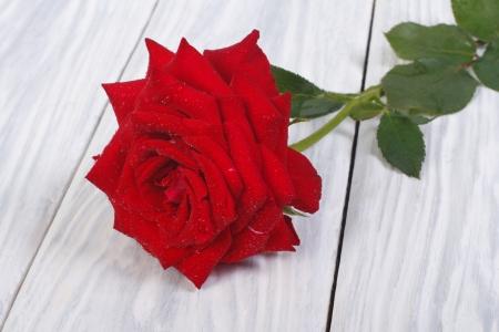 rot: schöne Blume von einer roten Rose mit grünen Blättern und Tautropfen