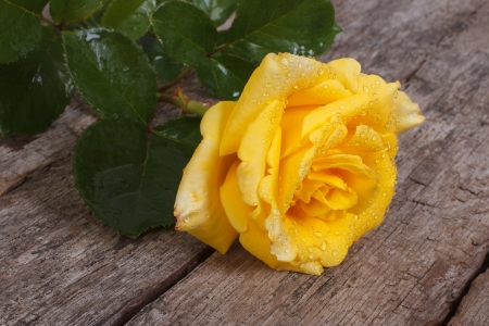 Beautiful yellow rose with drops of dew photo