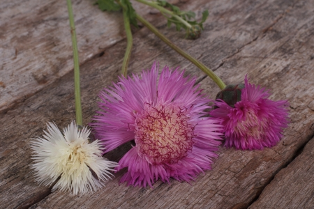 pink and white garden cornflower on an old wooden board photo