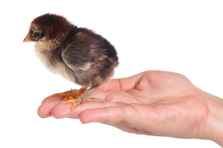 Newborn fluffy brown chicken on a palm isolated photo