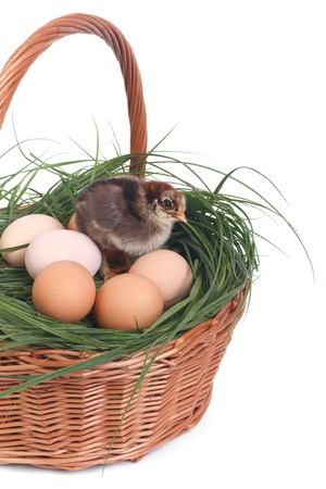 Small chicken in a basket with eggs isolated on white background photo