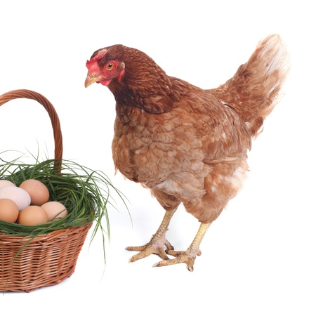 Surprised beautiful brown chicken near the basket with eggs