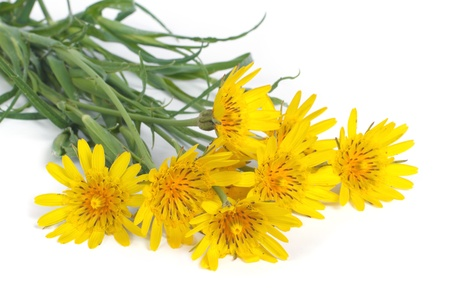 hispanica: Bouquet of yellow flowers salsify  1089; on white background Stock Photo