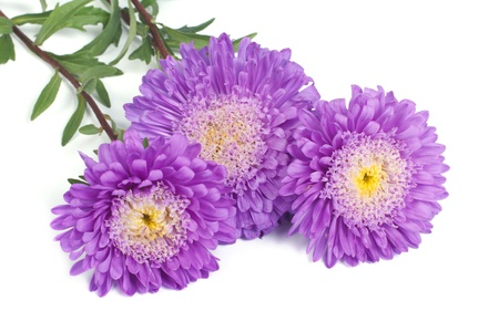 Bunch of beautiful blue with a yellow center asters isolated photo