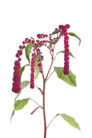 Amaranth flowers isolated on white background Stock Photo