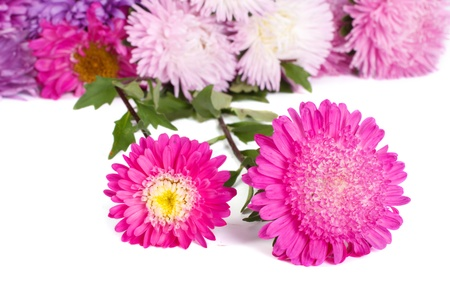 colorful asters isolated on white background photo