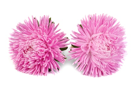 Two pink aster flower isolated on white background photo