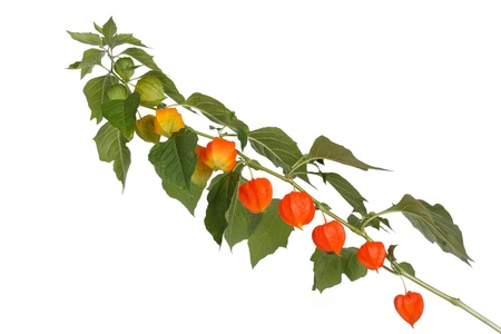 branch with ripe physalis isolated on a white background photo