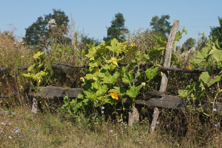old wooden fence wreathed with flowers pumpkins photo