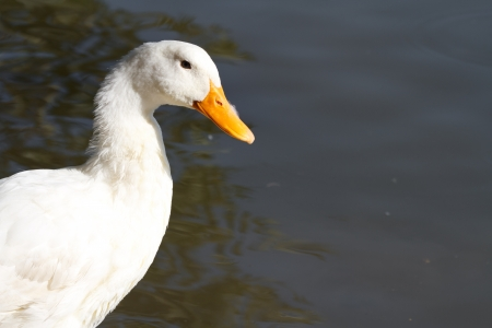 White goose near water, close-up photo