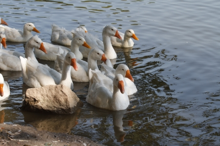 gosling: Domestic geese swimming on the river