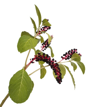 Pokeweed isolated on white background photo