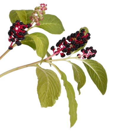 Two branches with pokeweed berries isolated photo