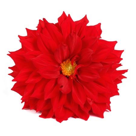 full red: Dalia rossa piena isolato su sfondo bianco