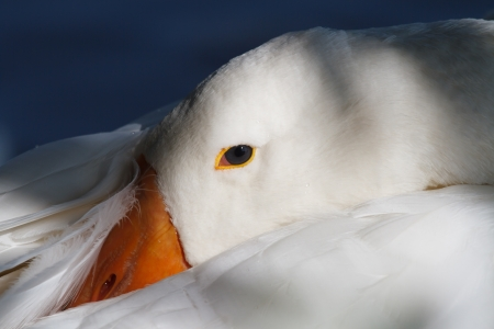 goose head: White goose head close-up on a background of blue water