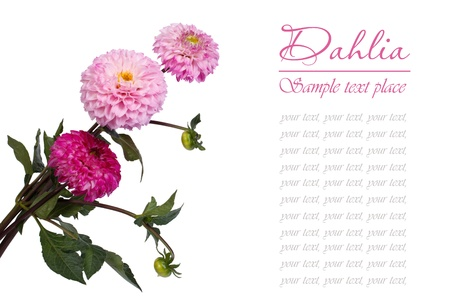 Bouquet of pink dahlia isolated on white background  text photo