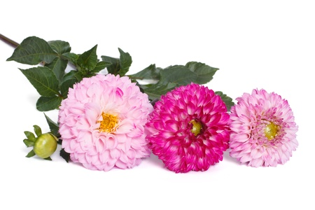 light pink and dark pink dahlia isolated on white background photo