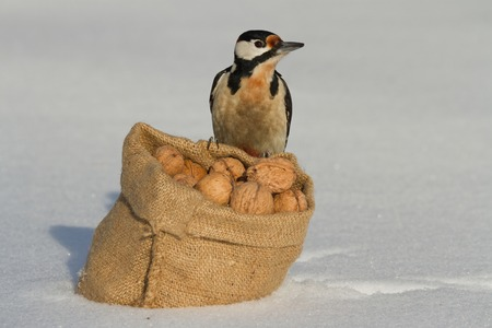 Woodpecker sitting on a bag of nuts on white snow. winter  photo