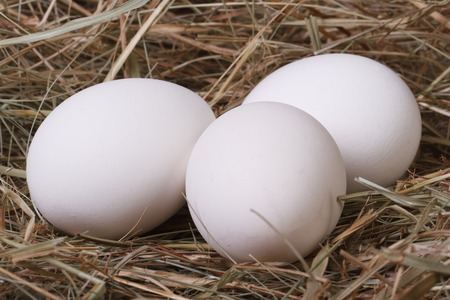Fresh white chicken eggs in a fragrant meadow hay closeup  photo