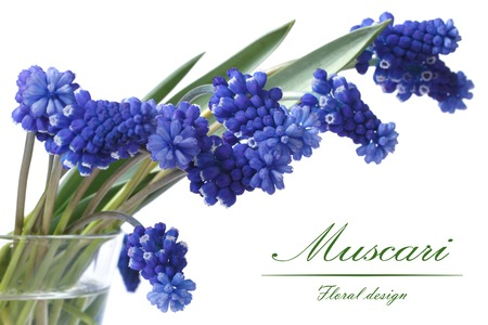 Bouquet of beautiful flowers of blue muscari in a glass vase isolated on white background  photo