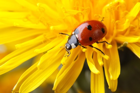 Beautiful ladybug on dandelion flower in spring. macro   photo