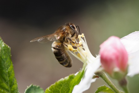 Bee collects pollen close-up on a flower apple tree in the spring garden  photo