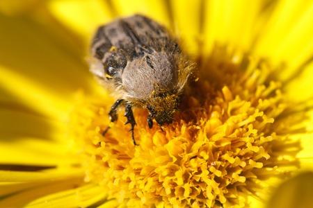 hirta: Tropinota hirta insect on yellow flower macro shot Stock Photo