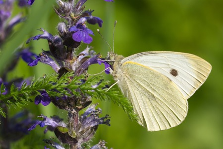 Cabbage butterfly closeup on a blue flower. macro horizontal  photo