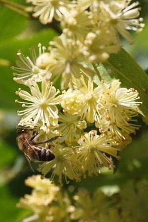 bee on flowers linden closeup vertical outdoor