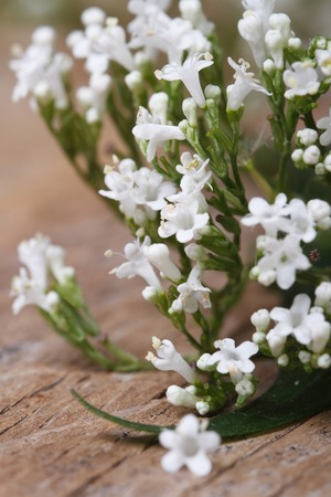 valerian plant: Valeriana officinalis white flowers closeup at table. vertical