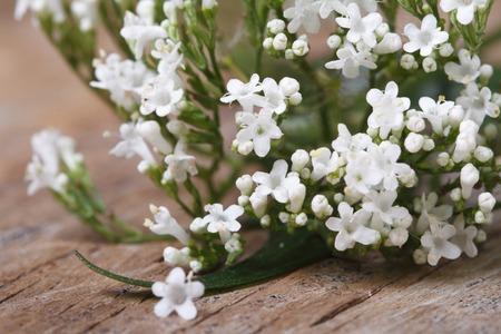 valerian plant: white flowers Valeriana officinalis macro on the table. horizontal