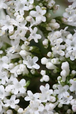valerian: white flowers Valeriana officinalis macro. vertical background