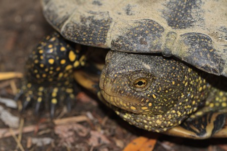 snapping turtle: freshwater turtle with yellow spots close up outdoors