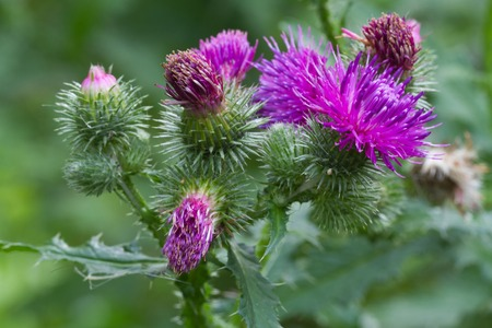 creeping plant: prickly thistle blooming closeup