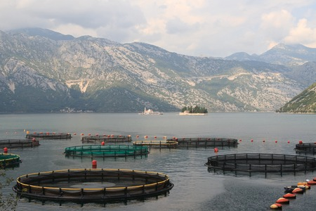 Fish farms in Montenegro with a view of the mountains. Bay of Kotor. photo