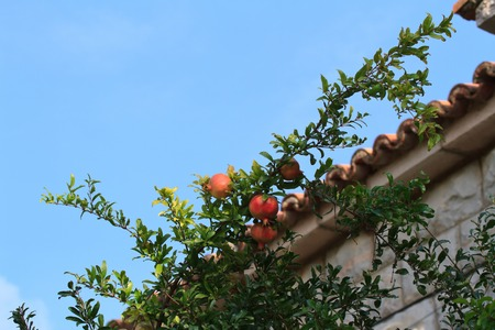 tabernacles: Ripe pomegranate on the branch near the house, horizontal