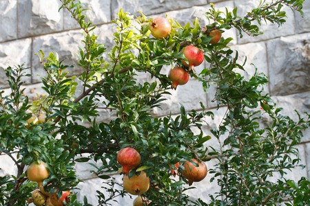 tabernacles: Ripe pomegranate fruit on a branch near a stone wall of a house, horizontal