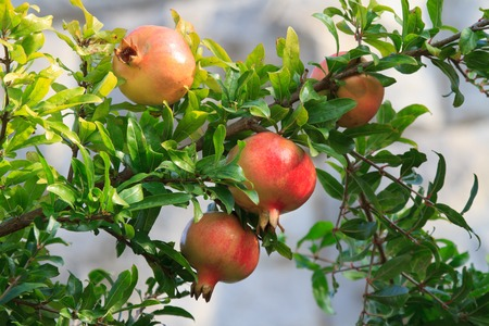 tabernacles: Ripe pomegranate fruit on a branch close-up, horizontal