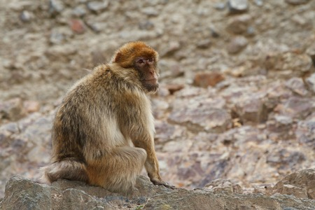 Barbary macaque?(Macaca sylvanus),?Barbary ape, or?magot on a background of rocks.