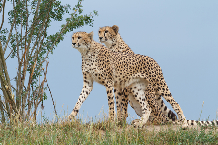 two wild cheetah on a background of blue sky closeup. outdoors Stock Photo