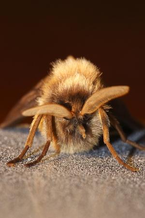 the antennae: macro shot of moth looking above his antennae Stock Photo