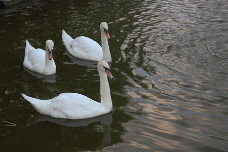 mere: The Three White swans at the mere