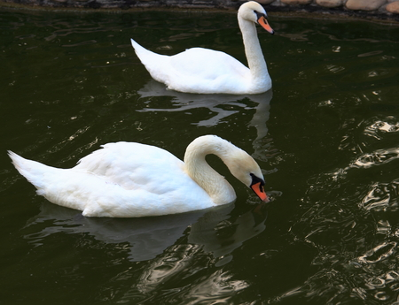 mere: The pair white swans at the mere