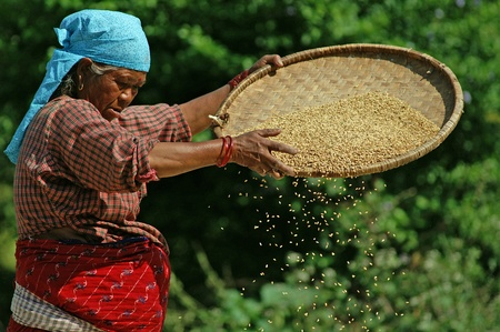 Kathmandu, Nepal - October 8, 2010: woman works the wheat to fields
