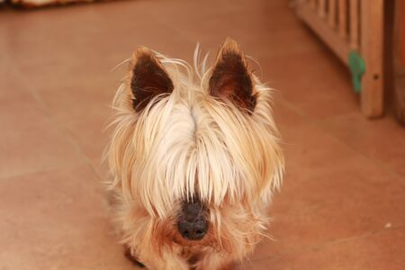 Yorshire Terrier in the laundry room